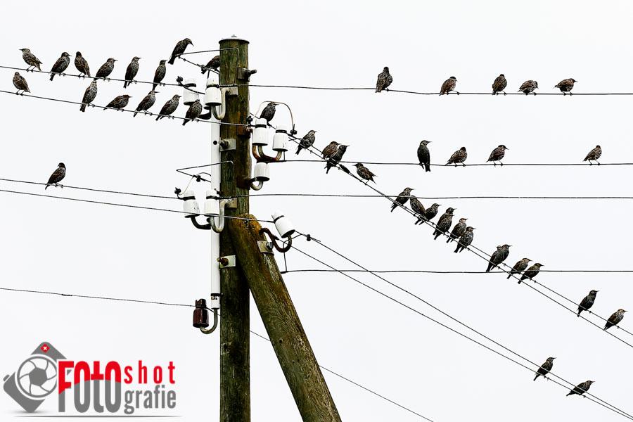 Vögel auf Leitungen